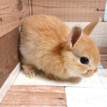 牧草大好き☆久しぶりのミニウサギでゴザイマス