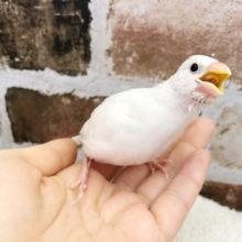 綺麗に成長してます☆白文鳥ヒナ!