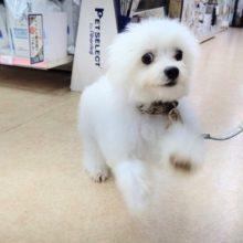 お散歩練習中!フワフワ天使~ MIX犬(チワワ×ビションフリーゼ) 男の子♪