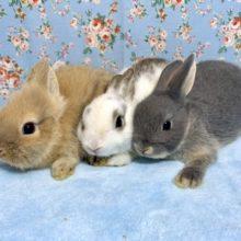 ミニウサギ  ネザーランドドワーフ  入舎しました😄