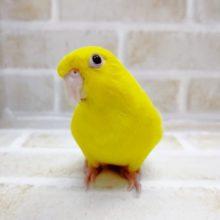 まっ黄色! サザナミインコ☆ルチノー(赤目) 2021年06月21日