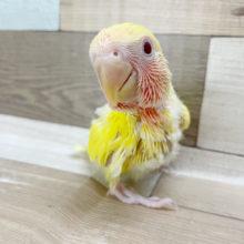 鮮やかな黄色が目を引く♪コザクラインコヒナ(ルチノー)