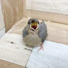 たくさん食べるよ☆人気の桜文鳥さん!