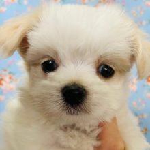 どの表情もたまらなく可愛い♡ミックス犬(マル×チワ)くん☆
