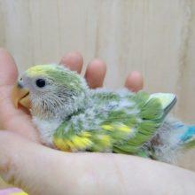 緑と淡い黄色の斑カラーの小桜インコヒナいますよ〜