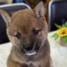 豆柴犬(赤) 2021年5月15日生まれ 男の子