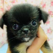 ぺちょんが可愛すぎる♡ミックス犬(チワワ×狆)ちゃん!!
