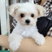 特技はゴロン!本店生まれのMIX犬(マルチーズ×チワワ) 女の子♪