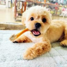 最新画像更新!!アピール姿が超ぶちゃかわ♡ミックス犬(マルチーズ×ペキニーズ)