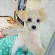 最新画像更新!!おもちゃ持ってきてくれる♥️水遊び大好き!?おてんばガール♡ミックス犬(マルプー)