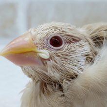 綺麗な瞳のシナモン文鳥