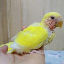 鮮やかな黄色とキラキラの赤い目!小桜インコゴールデンルチノー来ましたよ〜