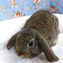 大きなお耳のウサギさん♪ ロップイヤーです!