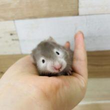 人気のセーブルハムスターくんが来たよ〜♥