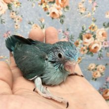マメルリハ(ブルー)女の子 2021年8月生まれ