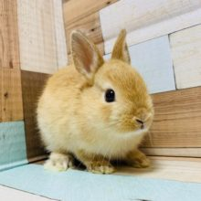 人気カラーのウサギさん!!ドワーフラビット(オレンジ)ちゃん♡