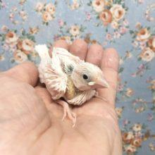 白文鳥  2021年9月生まれ