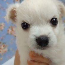 きりりっ!MIX犬(チワワ×マルチーズ) 男の子♪