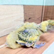 個性がでます!羽根の色がキレイですよ~~ コザクラインコ タイガーチェリー
