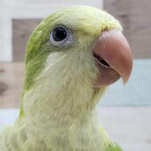 オキナインコのパステルグリーン