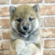 豆柴犬(赤)2021年8月21日生まれ 男の子