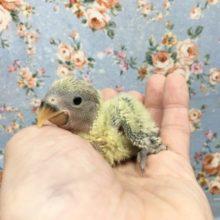 小桜インコ(オパーリン)  2021年9月生まれ